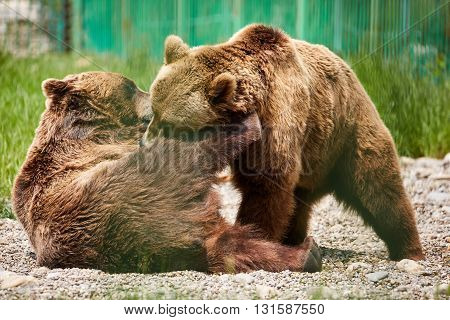 Bears Wrestling In The Zoo