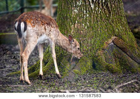 Fallow Deer Full Body