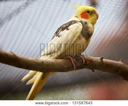 Little Parakeet Closeup