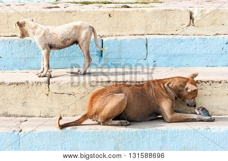 Two street dogs eating fish Varanasi India