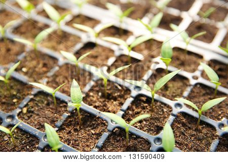 Young seedlings plants in a black tray
