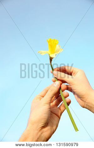 Woman and man hand holding narcissus on blue sky background