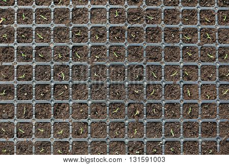 Black tray with soil for seedlings close up