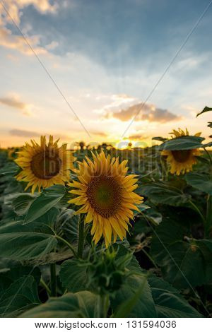 Photo of sun flowers on the field.