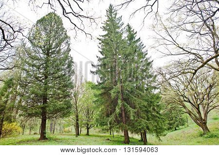 Tall Spruce And Pine Trees On Forest Transcarpathia