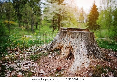 Charred tree stump in the forest with leaves