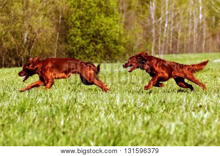 two dogs an Irish setter chasing each other on the green meadow in summer