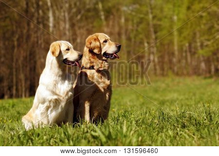 two dogs Golden retrievers male and female sitting in the summer sun