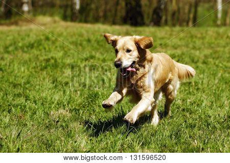 happy dog Golden Retriever with joy quickly runs across the grass