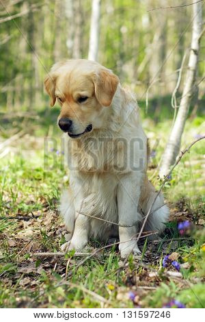 Golden Retriever dog sitting in forest and looking down