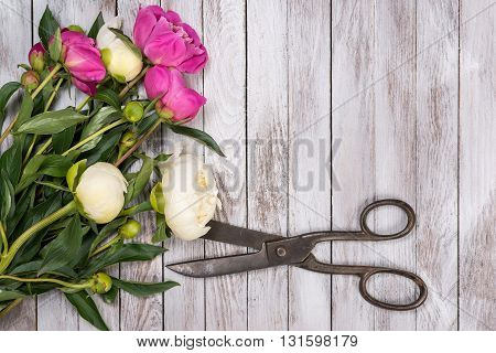 Bouquet of white and pink peonies flowers and vintage scissors on the white painted wooden planks. Space for custom text. Square image. Top view.