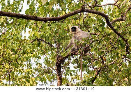 Single white monkey Langur in Orissa India