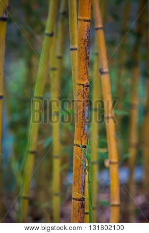 Vertical Image of Bamboo Stalks and Leaves -- shallow depth of field