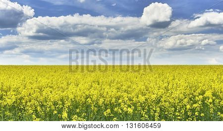 View to rape field with a blue sky with clouds