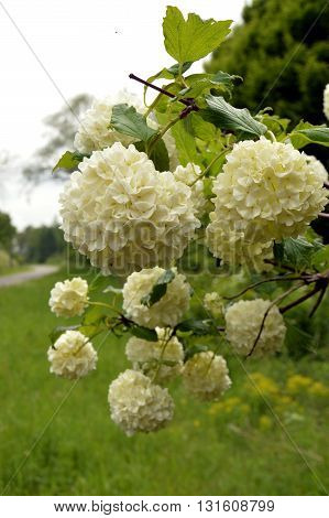 Flower of white color in the shape of pompom on the background of greenery.