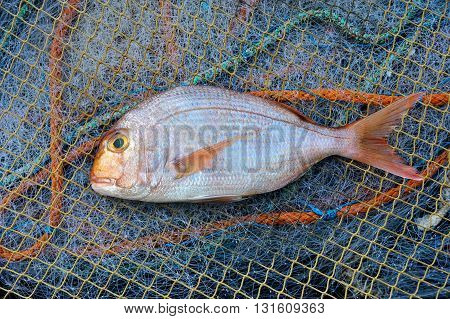 Red Porgy -popular marine cultured fish on fishing nets background