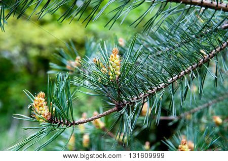 New cones on the pine tree close-up