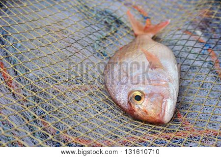Red Porgy Sea Bream -popular marine cultured fish on fishing nets