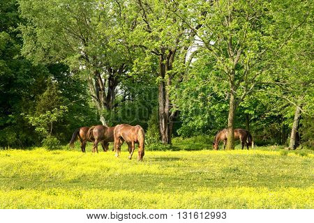 Four brown horses graze in a field of wildflowers.