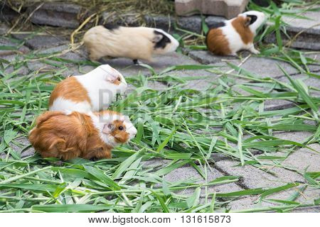 Guinea pig eating grass. guinea, pig, grass, pet, cute, animal
