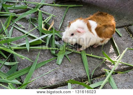 Guinea pig eating grass. guinea, pig, grass, pet,