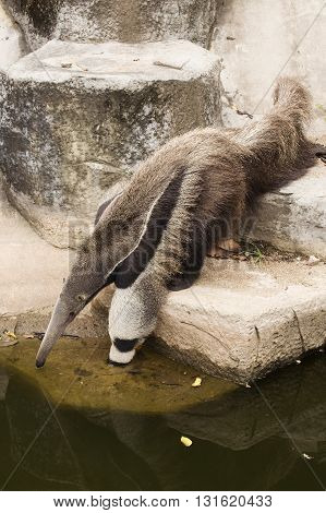 giant ant eater drinking water on the ponds