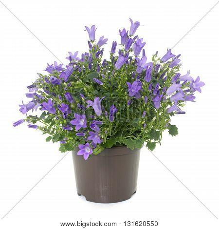 blue bellflower in front of white background