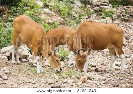Group of Wild Cattle eating the grass on the hill