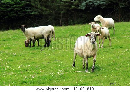 Sheep From Jeseniky Mountains