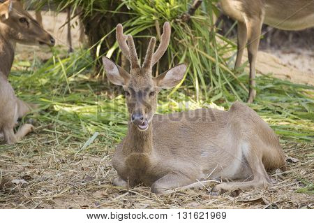 Deer resting in the zoo of Thailand