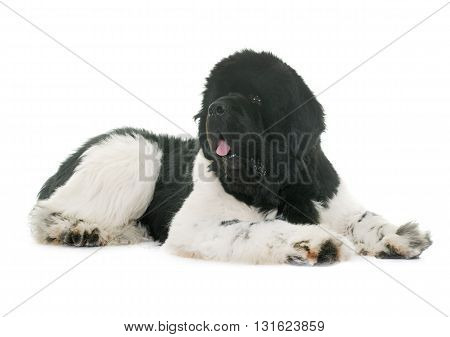 black and white newfoundland dog in front of white background