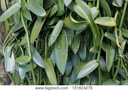 Vanilla Plants In La Reunion Island, Indian Ocean