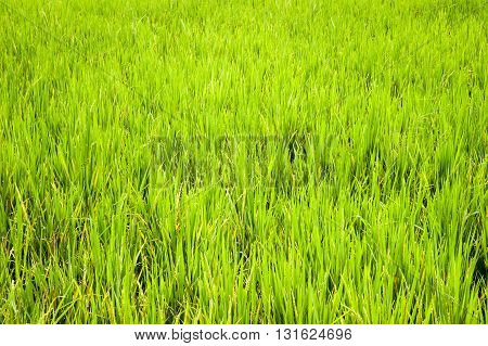 GREEN RICE FIELD CLOSE UP, KARNATAKA, INDIA