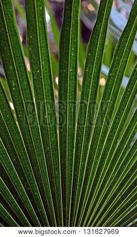 Back lit Cabbage Tree Palm Leaves (Livistona australis)