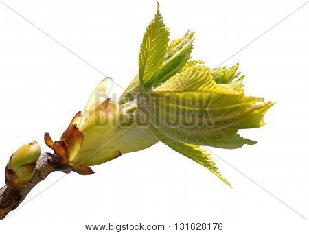 bud on a tree branch on white background