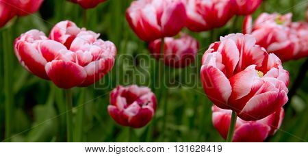 Beautiful red tulips in the spring time.Close-up of closely bundled red tulips.