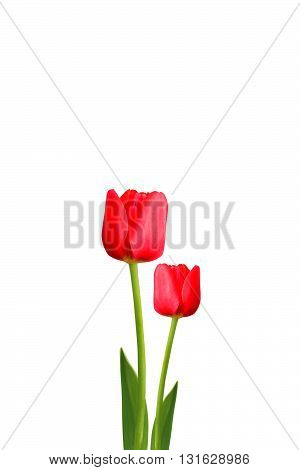 Tulips flower isolated on white color backgrond