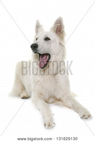 White Swiss Shepherd Dog barking in front of white background