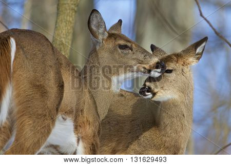 Beautiful pair of the wild deers in the forest