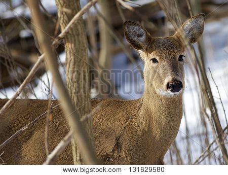 Beautiful background with the very cute wild deer in the snowy forest