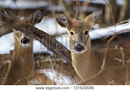 Beautiful background with the very cute wild deers