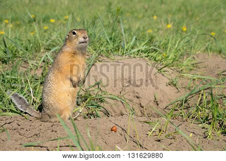long-tailed ground squirrel (Spermophilus undulatus). Wild souslik