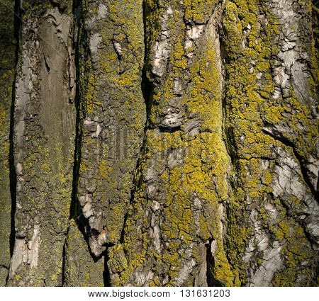 Tree bark covered with moss. Beautiful natural pattern