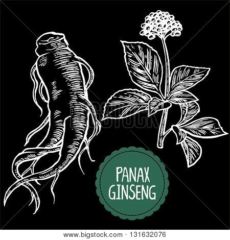 Root and leaves panax ginseng. Vector engraving vintage illustration of medicinal plants. Biological additives are. Healthy lifestyle. For traditional medicine gardening. Black background.