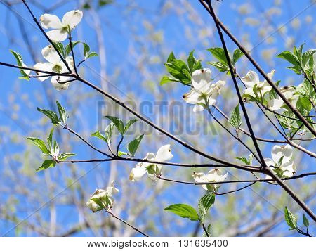 The dogwood flower blossom in forest of Mclean near Washington DC 14 April 2016 USA