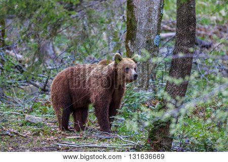 wild bear in the Fagaras Mountains Romania
