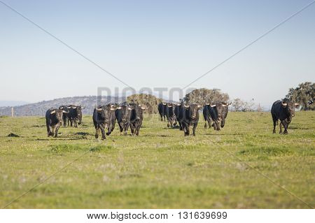 Spanish bulls in freedom, landscape from Spain
