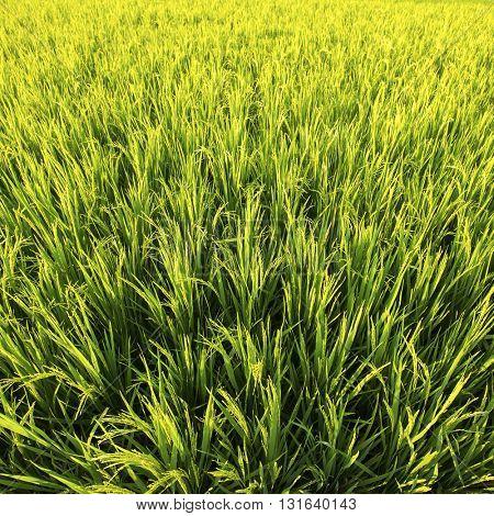 Green rice field in Golden sunlight, closeup.