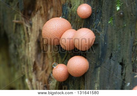 Mushrooms (slime mould Lycogala epidendrum) on an old stump