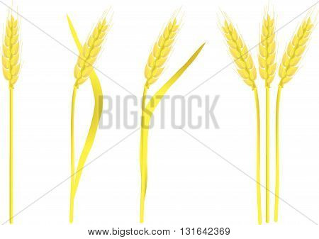 Ripe yellow wheat ears on white, painting, vector illustration